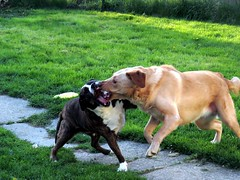 My dogs had a spirited mock fight. (kennethkonica) Tags: people usa pets white green dogs nature cemetery grass birds animals canon fur outdoors backyard midwest yellowlab random indianapolis teeth tombstone indy indiana batman marioncounty crownhill mockfight kennethkonica canonsx50hs