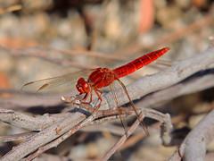 Scarlet Darter [Exlpore] (Eskling) Tags: scarlet nikon dragonfly wildlife tenerife darter erythraea loscristianos crocothemis
