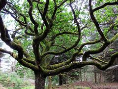 A fantastic old Oak I (hoscrafoto) Tags: wood old green nature leaves forest denmark moss oak branches natur skog aged danmark skagen eik mose grener