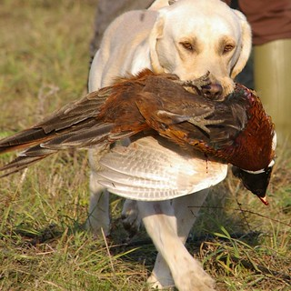 Hungary Luxury Driven Pheasant Shoot 46