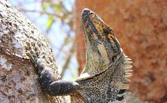 Garrobo (Alex Corella Q) Tags: costa rica iguana garrobo