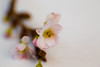 Almond Blossom (scuthography) Tags: photo spring foto dof blossom bokeh awesome ngc almond blossoming 2015 flickrglobal kathrinschild