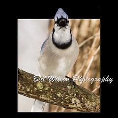 Angry Blue Jay (wildlifephotonj) Tags: bird nature birds wildlife bluejay bluejays naturephotography naturephotos wildlifephotography wildlifephotos natureprints wildlifephotographynj naturephotographynj