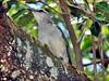 Pássaros - Birds (12) (jemaambiental) Tags: horse dogs birds fauna hamster cavalos cachorros coelho pássaros tigres macacos picapau ursos suricatas periquitos urubú escorpião faisão poneis chipanzés esqueletodecobra