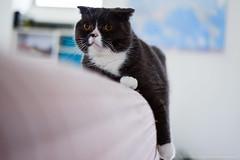 D8M_7886 (archiwu945) Tags: cat 寵物 貓