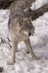 Wolf (Eunice Gibb) Tags: park animal vertical wolf quebec hiver canine wildanimal loup lupus parc parcomega montebello animalsauvage wolfinwinter loupdanslaneige loupenhiver