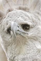 SetZeroIchiE (Rooru S.) Tags: nature eagle sony panama panam harpy guila a850 harpa sal70400g2