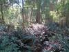 2013-05-19 Halls Falls 93 - Track through water ferns (Cowirrie) Tags: fern track frond waterfern blechnum blechnumsp hallsfallstrack
