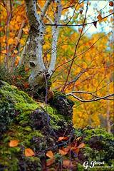 PALETTE DE COULEURS D'AUTOMNE (Gilles Poyet photographies) Tags: nature automne arbre soe fort auvergne feuilles beaumont puydedme autofocus sousbois lachtaigneraie aplusphoto artofimages