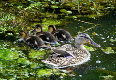 Jonge eendjes (ditmaliepaard) Tags: sony ducks a6000 jongeeendjes