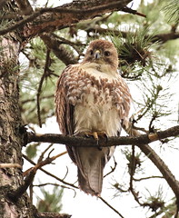 My Reward for Looking Up (Slow Turning) Tags: tree bird pine branch raptor bark perched immature passage juvenile southernontario redtailedhawk buteojamaicensis
