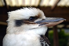 Kookaburra (Sophie2037) Tags: bird nature birds animals wildlife lakedistrict kookaburra lakedistrictwildlifepark