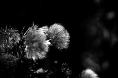 Thistle Buds in Mono (Brian Travelling) Tags: flowers blackandwhite white black flower history texture floral grey mono scotland interesting weeds weed flora scenery pentax bokeh thistle scenic fluffy scottish historic hills spike buds wildflower westcoast barbed scots ayrshire largs thorny jaggy 1263 nationalflower alexanderiii northayrshire westofscotland battleoflargs scotsthistle kingalexanderiii kingalexander nationalflowerofscotland pentaxdal pentaxkr northayrshirecoastalpath thistlebudsinmono scotsking