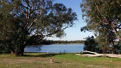 running free (ClareSnow) Tags: autumn dog lake water australia cider naturereserve perth eucalyptus gumtree kelpie waterlevel eucalyptusrudis floodedgum lakegwelup waterlevelmarker lakegwelupreserve icklekelpie