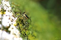 Saltique (Mariie76) Tags: macro nature yeux animaux verdure gros araignes salticidae macrophotographie sauteuse saltique