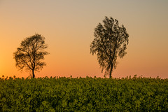 Trees on a field at Sunset