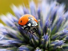 Ladybug 150712-0609 Wuhle_SOOCx1_ (Pixel-Cat) Tags: macro berlin insect beetle olympus ladybug insekt omd kfer echinops marienkfer coleoptera kugeldistel wuhletal hellersdorf em5 sooc mzuiko1250mm13563iiez
