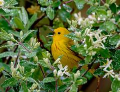 Warbler singing in the rain (snooker2009) Tags: flowers bird fall nature rain yellow spring singing pennsylvania wildlife migration warbler