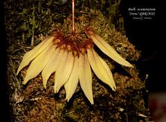 Bulbophyllum acuminatum 'Irene' CBR/AOS (Orchidelique) Tags: plant orchid nature bulb br award irene cbr aos bulbophyllum acuminatum ncos ncjc 20151149 botanicalrecognition