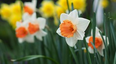 Die letzten....   [Explored May 3, 2016] (G_E_R_D) Tags: flowers spring blumen frühling narzissen osterglocken
