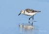 Twinkletoes (Rick Derevan) Tags: shorebird sanderling calidrisalba pismobeach california bird droh dailyrayofhope