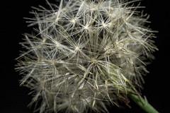 Danf (robden61) Tags: macro dandelion dandelionseeds dandelionsheads