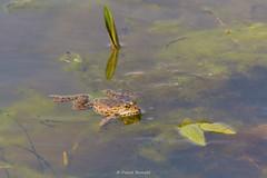 2016-05-06 - 15.54.48 - _L5B2731 - 3 (Rossell' Art) Tags: pad frog toad sapo rana frosch grenouille kikker rano bufo r krte crapaud  rospo doodebemde batracien