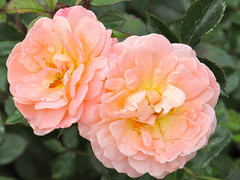 Peach Rose (dog.happy.art) Tags: flowers plant flower rose bloom blooms shrub blooming flowerng