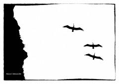 Pelican Silhouettes (MyRidgebacks - Sharon C Johnson) Tags: bw silhouettes nik mavericks sharoncjohnsonphotography