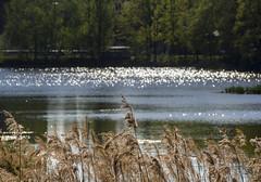 Shiny lake - #m43turkiye . com (Ciddi Biri) Tags: plants lake nature water shiny bokeh 40150r omdem10 m43turkiye
