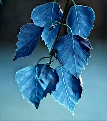 Midnight blue - Explored (Mazzlo) Tags: blue macro leaves leaf nikon foliage midnight d5500 justleaves macromonday