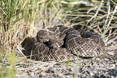 Western Diamondback Rattlesnake (Critter Seeker) Tags: newmexico nature animal animals outside outdoors reptile snake wildlife wildanimal rattlesnake westerndiamondback westerndiamondbackrattlesnake