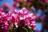 Red Apple Blossom, Lohja 2