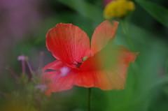 Jardin des plantes -Toulouse (31) (FloLfp) Tags: orange fleur garden rouge jardin toulouse 31 coquelicot