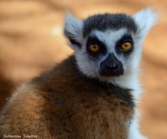 Ring-tailed lemur, Monkey Park (samanthaschutte72) Tags: park animals zoo monkey los nikon tenerife monkeys dieren dierentuin cristianos d3200