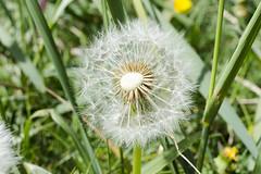 Half naked blowball (piropiro3) Tags: green grass dandelion gras grn lwenzahn pusteblume blowball