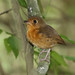 Rusty-breasted Antpitta, Grallaricula ferrugineipectus