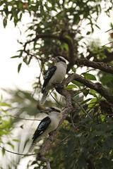 Laughing Kookaburras (Ne_Obliviscaris) Tags: birds laughing brisbane backyards kookaburra dacelo novaeguineae
