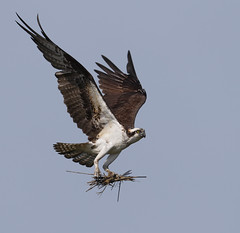 Osprey with nesting material (Mawrter) Tags: wild motion bird nature canon outdoors fly flying newjersey wings afternoon action wildlife birding flight nj osprey nesting specanimal