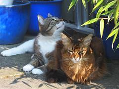 What a tough team we make... (Finn Frode (DK)) Tags: friends pet cats animal cat garden denmark afternoon outdoor rags olympus som rest somali verandah mixedbreed somalicat birdwatch bastian domesticshorthair omdem5 dusharatattersandrags