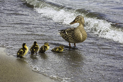 Duck family (3dRabbit) Tags: duck duckling bird birds animal fly river lake wave water beach wa seattle krikland juanita love mom baby