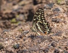 PGC_7893-20150917 (C&P_Pics) Tags: butterfly western zambia insectsandspiders zambiatonamibia