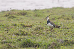 Avefra Europea (ik_kil) Tags: india birds lapwing assam vanellusvanellus northernlapwing kaziranga vanellus birdsofindia kaziranganationalpark avefraeuropea