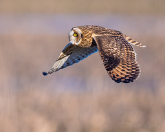 Hovering (mLichy911) Tags: seattle winter portrait bird nature sunrise canon colorful action bokeh flight owl wa pnw goldenhour hovering bif shorteared 500f4 7dmarkii