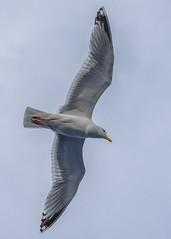 I Am Flying (dietmar-schwanitz) Tags: bird animals tiere wings seagull birding flight vogel lightroom flug flgel seemwe mittelmeermwe dietmarschwanitz nikond750 nikonafsnikkor24120mmf40ged