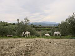 Il-Giardino_e-m10_1005085453 (Torben*) Tags: italien horses italy tuscany pferde toskana ilgiardino rawtherapee olympusm1442mmf3556iir olympusomdem10