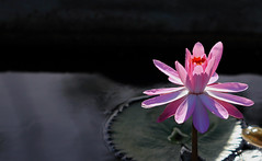 """The tones of gray, pale turquoise and pink will prevail"" (zgrial) Tags: pink flower water flora waterlily florida blossom quote gray lilypad christiandior zgrial"
