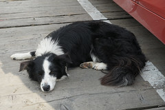 Ferry Dog (Tom Willett) Tags: skye ferry scotland highlands isleofskye glenelg sleet kylerhea carferry soundofsleet turntableferry originalskyeferry
