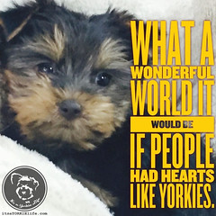 Truly wonderful indeed. (itsayorkielife) Tags: yorkiememe yorkie yorkshireterrier quote