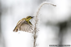 Olive-backed Sunbird (Cinnyris jugularis)_DSC4155-3 (BoonHong Chan) Tags: nikon singapore nikkor sunbird olivebackedsunbird nectariniajugularis nikond500 femaleolivebackedsunbird boonhong kranjimarshes singaporebird olivebackedsunbirdnectariniajugularis nikkor200500mmf56